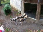 . - Afrikanischer Wildhund