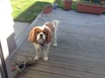 Joe - Männlich Afrikanischer Wildhund (5 Monate)