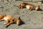 Dingo Bild