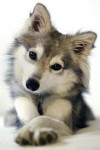 Willow - Wolf (6 Monate)