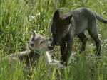 wolfcub - Wolf (7 Monate)