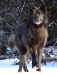 Raven - Wolf (2 Jahre)