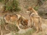 LOBO - Männlich Wolf (3 Jahre)