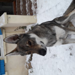 Leo - Männlich Wolf (1 Jahr)