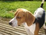 beagle bulle - Beagle