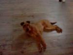 Galice - Irischer Terrier (1 Jahr)