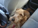 Galice - Irischer Terrier (2 Jahre)
