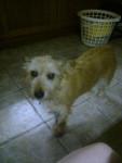 rusty - Männlich Irischer Terrier (9 Jahre)