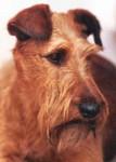 Irish Terrier - Irischer Terrier