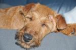 Irischer Terrier Bild