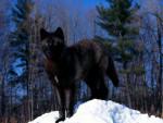 Black Wolf In Snow Pic - Männlich (3 Jahre)
