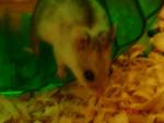 Ezzy - Hamster (3 Jahre)