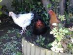Hermine , Whoopie , Biscotte - Huhn
