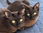 Thai Burmese - Katze