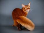Un beau chat Somali avec une queue en panache