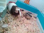 Reglisse - Kurzhaar Hausmeerschweinchen (9 Monate)