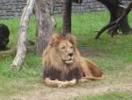 Milo - Männlich Löwe (5 Jahre)