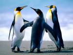 manchot - Pinguin (14 Jahre)