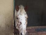 Pattone - Männlich Pony