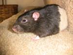 Beetle - Männlich Ratte (Andere)