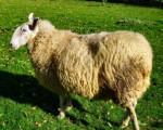mouton de l'aid - Männlich Schaf (4 Monate)